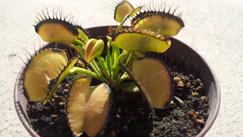 My Venus Flytrap has an Aphid infestation. What do you recommend?