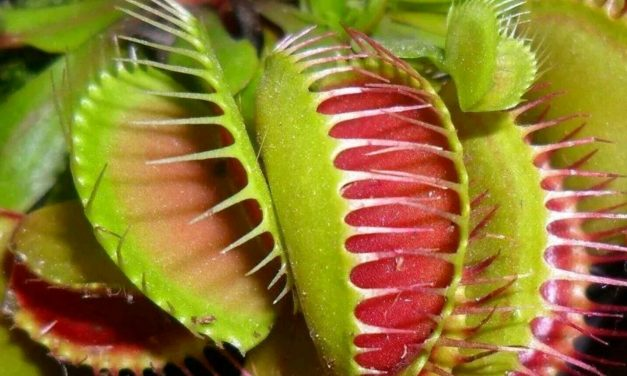 Why do the leaves of my Venus Flytrap not look like they do in the pictures?